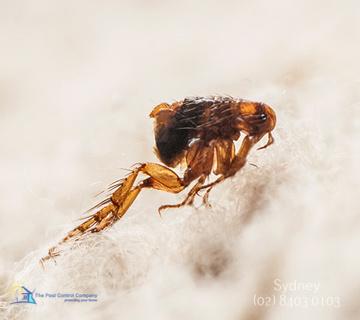 Fly Pest Control Sydney