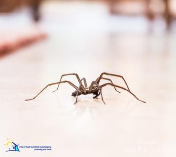 Spider Pest Control Bondi