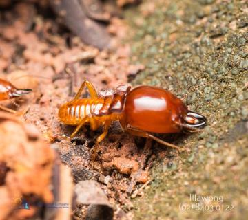 Termite Treatment Illawong